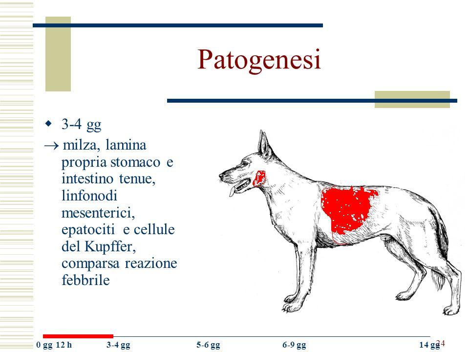 24 Patogenesi 3-4 gg milza, lamina propria stomaco e intestino tenue, linfonodi mesenterici, epatociti e cellule del Kupffer, comparsa reazione febbri