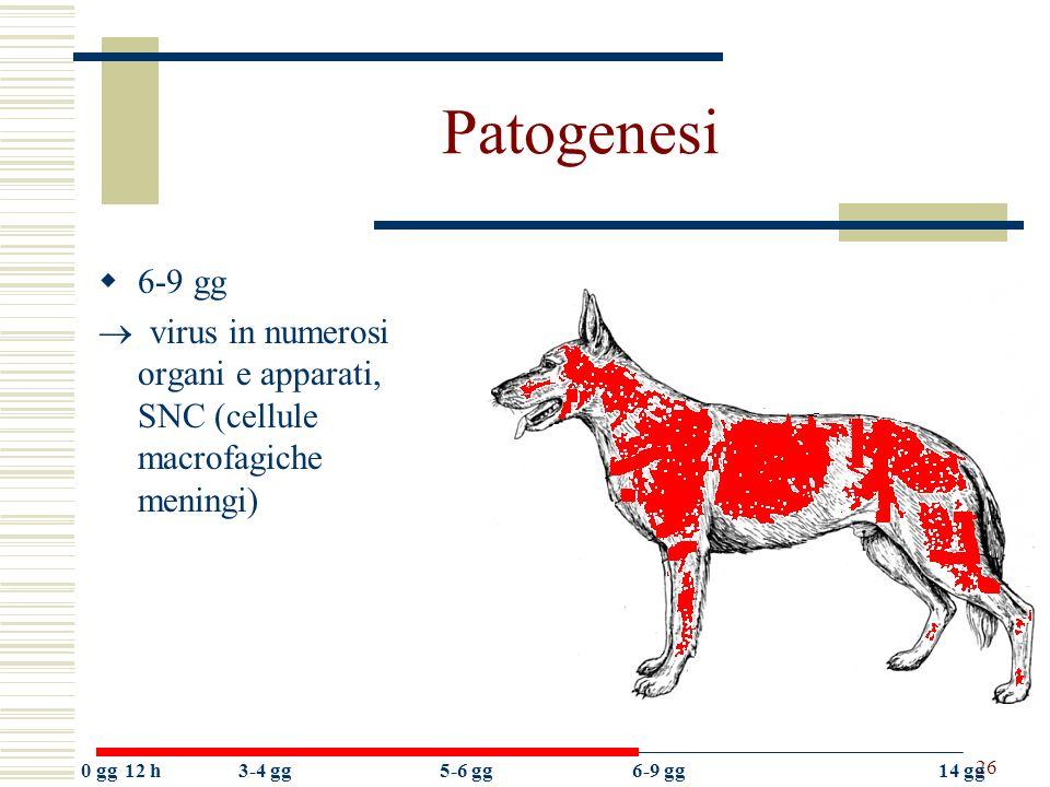 26 Patogenesi 6-9 gg virus in numerosi organi e apparati, SNC (cellule macrofagiche meningi) 0 gg12 h3-4 gg5-6 gg6-9 gg14 gg