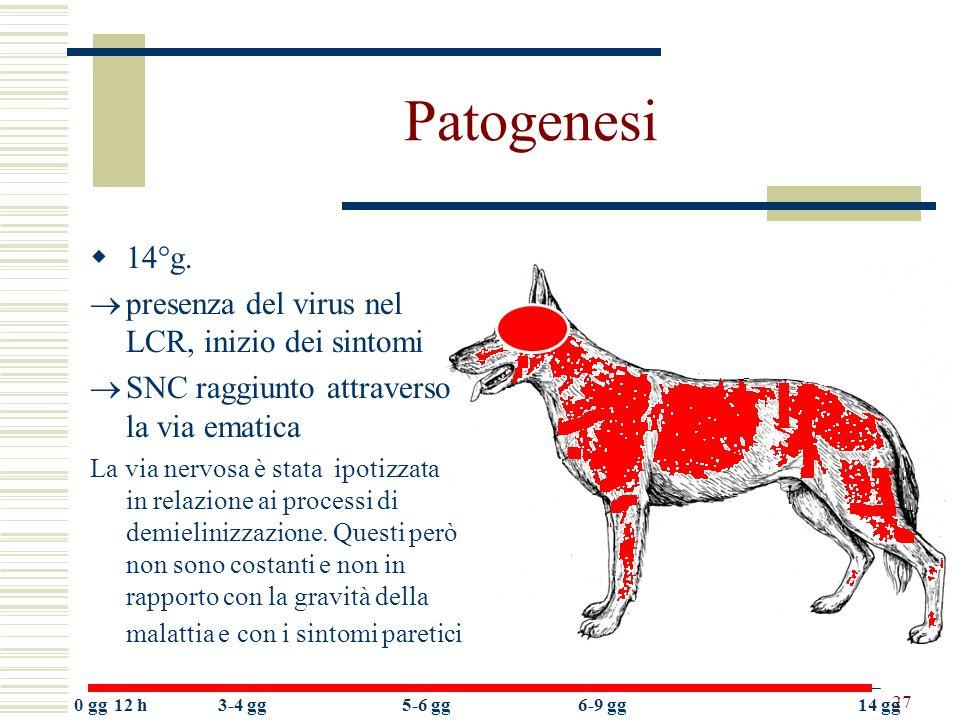 27 Patogenesi 14°g. presenza del virus nel LCR, inizio dei sintomi SNC raggiunto attraverso la via ematica La via nervosa è stata ipotizzata in relazi