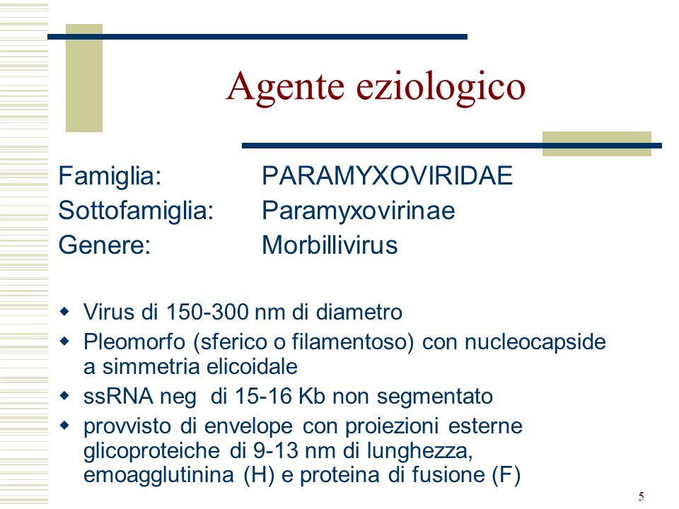 16 (in vitro) Replica molto bene in: Linfociti B o T di furetto Macrofagi di cane e furetto Colture cellulari di fibroblasti e cervello di cane e furetto