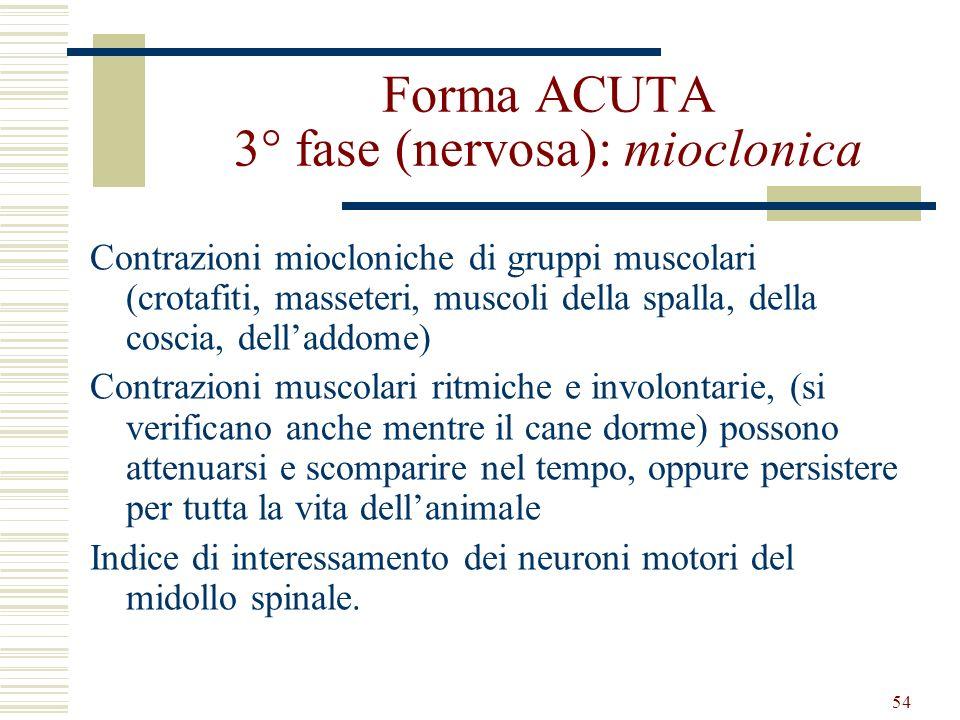 54 Forma ACUTA 3° fase (nervosa): mioclonica Contrazioni miocloniche di gruppi muscolari (crotafiti, masseteri, muscoli della spalla, della coscia, de