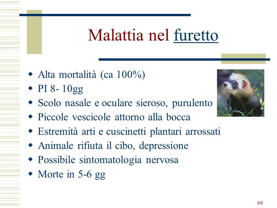 66 Malattia nel furettofuretto Alta mortalità (ca 100%) PI 8- 10gg Scolo nasale e oculare sieroso, purulento Piccole vescicole attorno alla bocca Estr