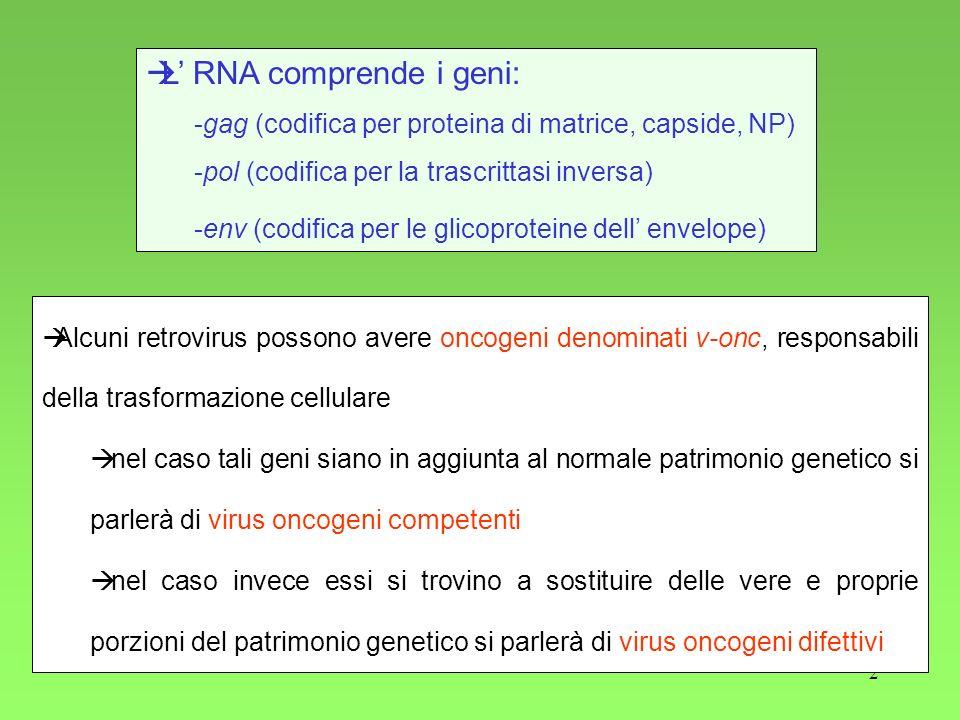 2 L RNA comprende i geni: -gag (codifica per proteina di matrice, capside, NP) -pol (codifica per la trascrittasi inversa) -env (codifica per le glico