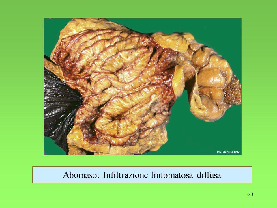 23 Abomaso: Infiltrazione linfomatosa diffusa