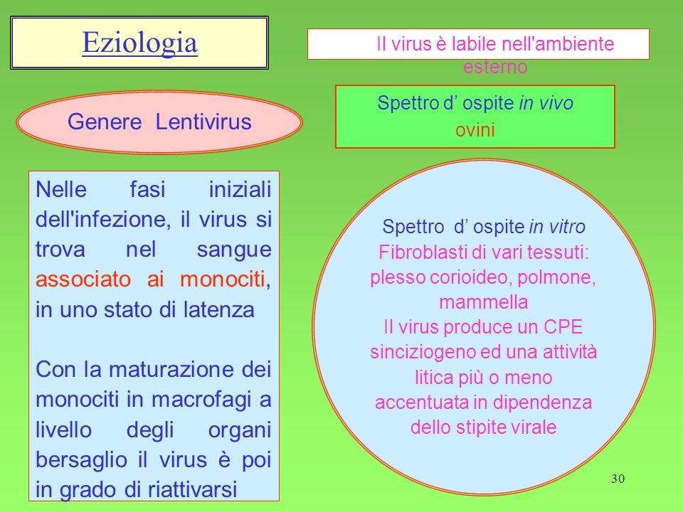 30 Eziologia Genere Lentivirus Nelle fasi iniziali dell'infezione, il virus si trova nel sangue associato ai monociti, in uno stato di latenza Con la