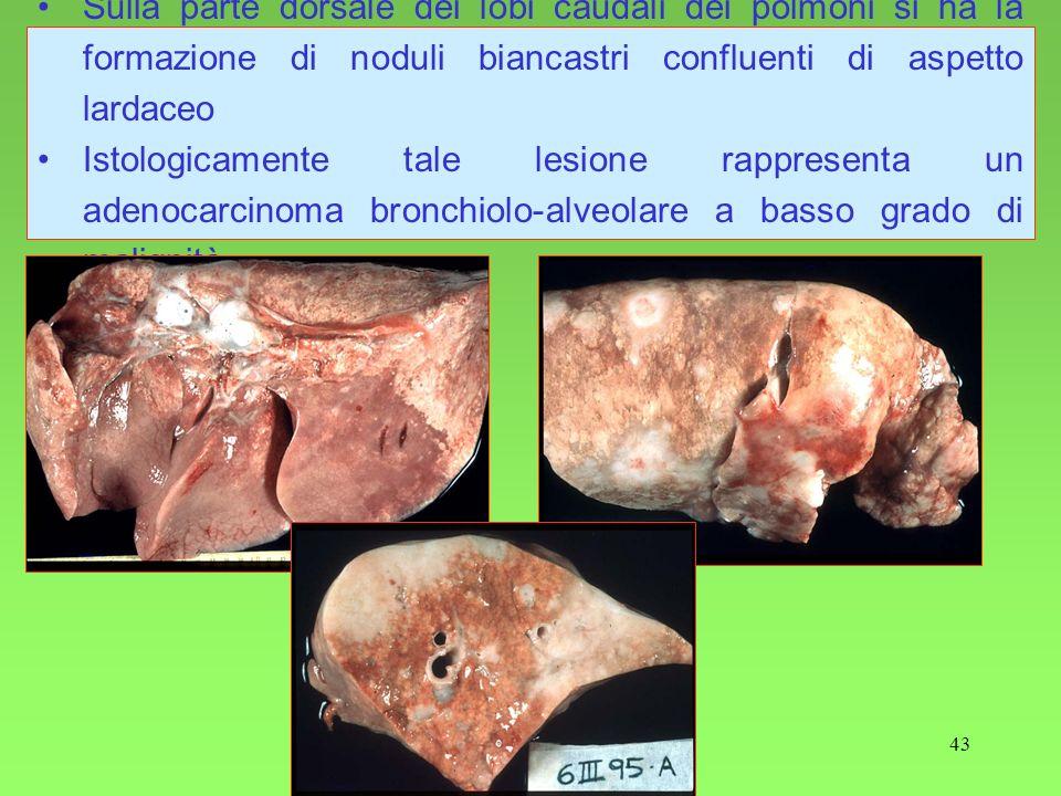 43 Sulla parte dorsale dei lobi caudali dei polmoni si ha la formazione di noduli biancastri confluenti di aspetto lardaceo Istologicamente tale lesio