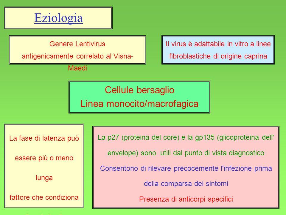 49 Eziologia Genere Lentivirus antigenicamente correlato al Visna- Maedi Il virus è adattabile in vitro a linee fibroblastiche di origine caprina Cell
