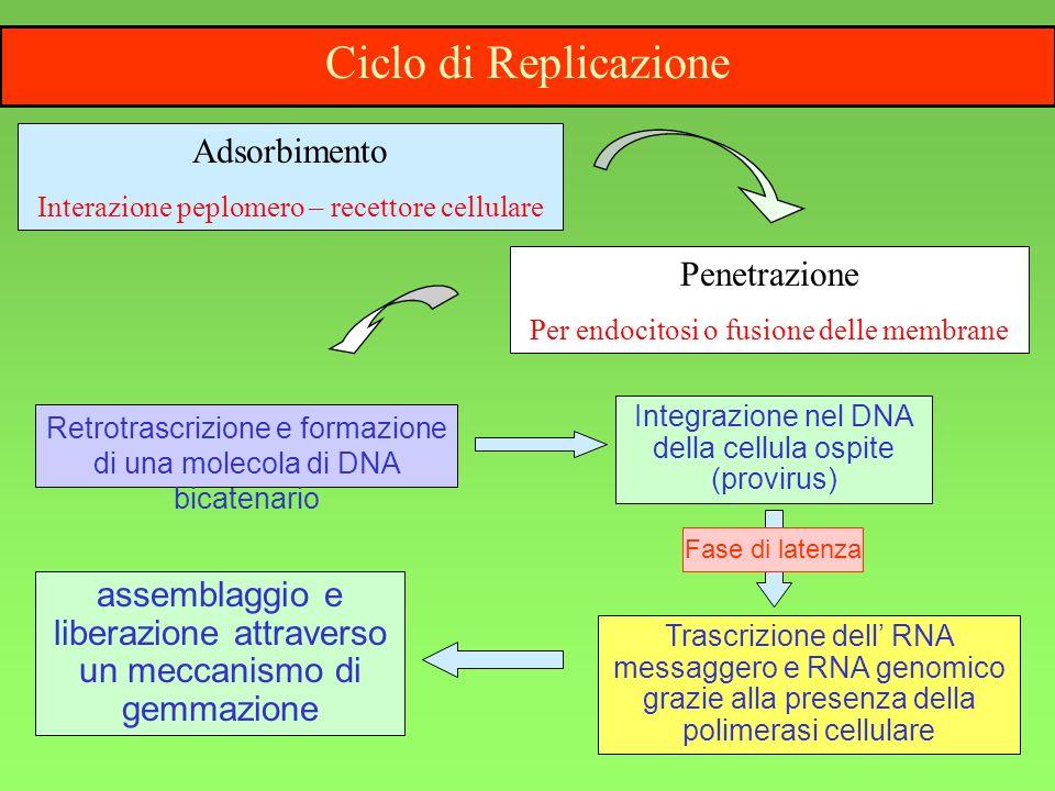5 Penetrazione Per endocitosi o fusione delle membrane Integrazione nel DNA della cellula ospite (provirus) Retrotrascrizione e formazione di una mole