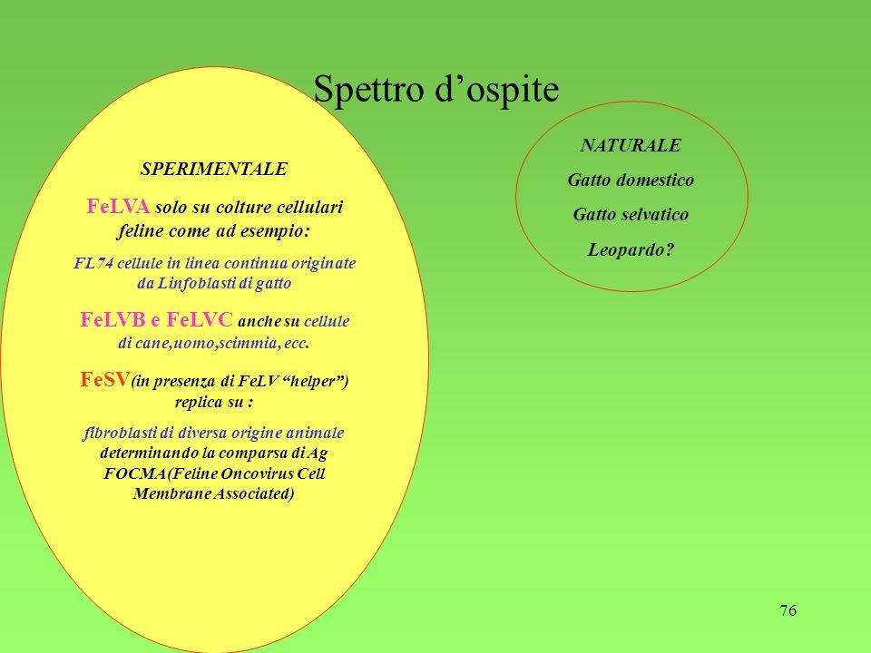 76 Spettro dospite SPERIMENTALE FeLVA solo su colture cellulari feline come ad esempio: FL74 cellule in linea continua originate da Linfoblasti di gat
