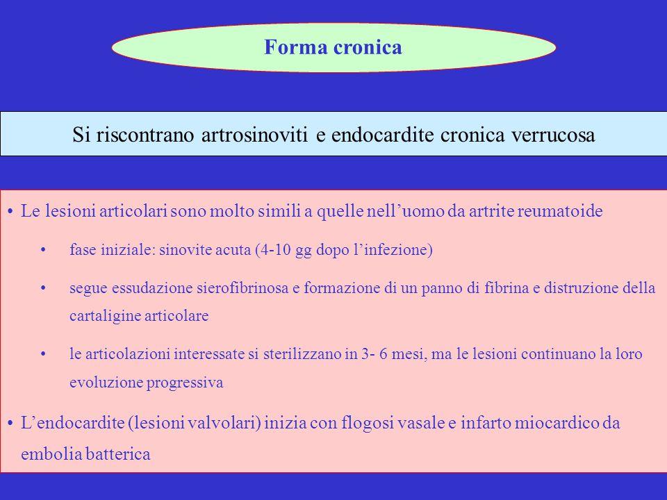 19 Si riscontrano artrosinoviti e endocardite cronica verrucosa Forma cronica Le lesioni articolari sono molto simili a quelle nelluomo da artrite reumatoide fase iniziale: sinovite acuta (4-10 gg dopo linfezione) segue essudazione sierofibrinosa e formazione di un panno di fibrina e distruzione della cartaligine articolare le articolazioni interessate si sterilizzano in 3- 6 mesi, ma le lesioni continuano la loro evoluzione progressiva Lendocardite (lesioni valvolari) inizia con flogosi vasale e infarto miocardico da embolia batterica
