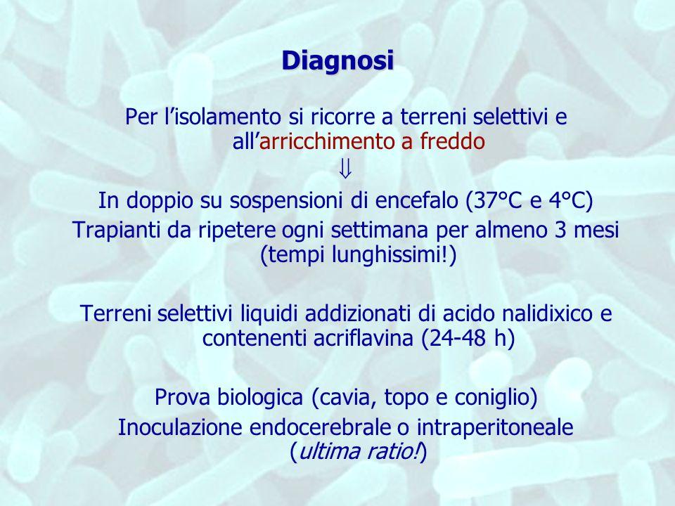 Diagnosi Per lisolamento si ricorre a terreni selettivi e allarricchimento a freddo In doppio su sospensioni di encefalo (37°C e 4°C) Trapianti da rip