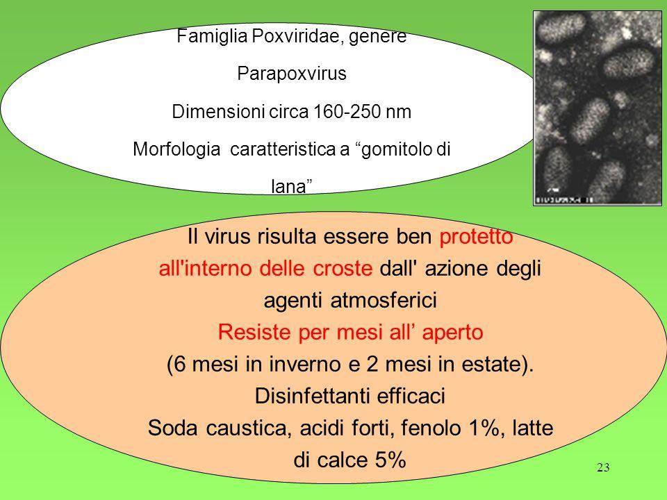 23 Famiglia Poxviridae, genere Parapoxvirus Dimensioni circa 160-250 nm Morfologia caratteristica a gomitolo di lana Il virus risulta essere ben protetto all interno delle croste dall azione degli agenti atmosferici Resiste per mesi all aperto (6 mesi in inverno e 2 mesi in estate).
