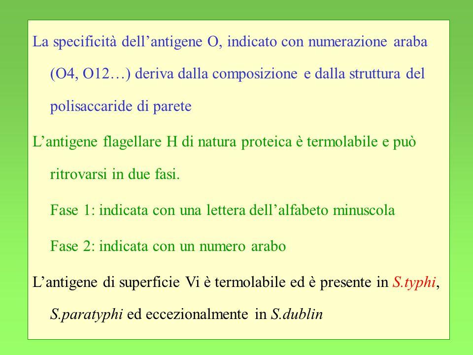 13 La specificità dellantigene O, indicato con numerazione araba (O4, O12…) deriva dalla composizione e dalla struttura del polisaccaride di parete La