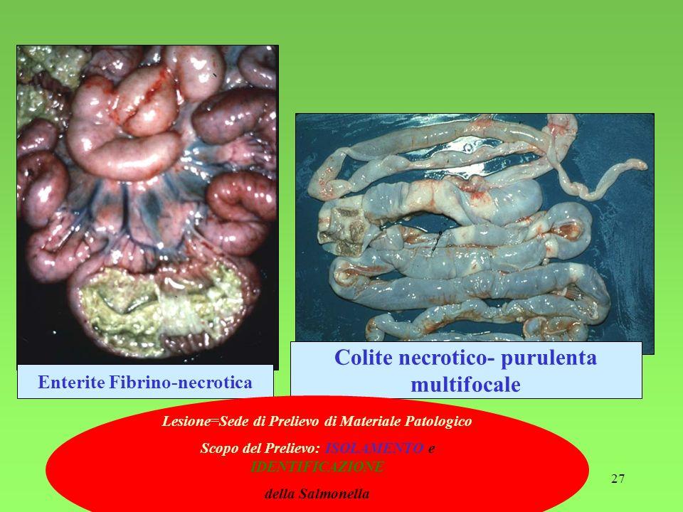 27 Enterite Fibrino-necrotica Colite necrotico- purulenta multifocale Lesione=Sede di Prelievo di Materiale Patologico Scopo del Prelievo: ISOLAMENTO