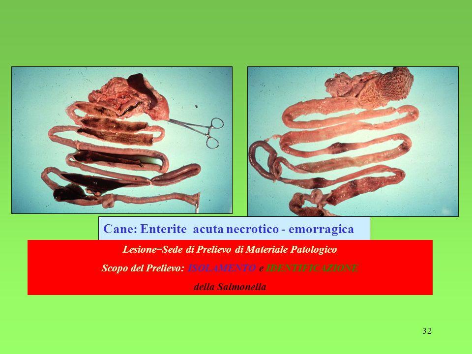 32 Cane: Enterite acuta necrotico - emorragica Lesione=Sede di Prelievo di Materiale Patologico Scopo del Prelievo: ISOLAMENTO e IDENTIFICAZIONE della
