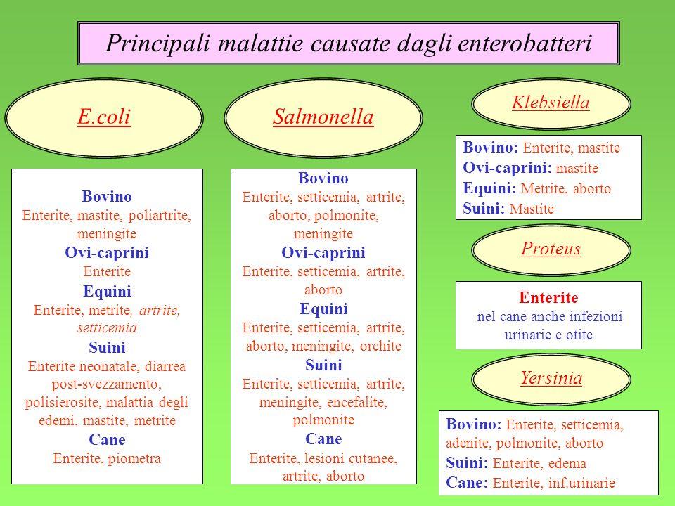 9 Principali malattie causate dagli enterobatteri Bovino Enterite, mastite, poliartrite, meningite Ovi-caprini En t erite Equini Enterite, metrite, ar