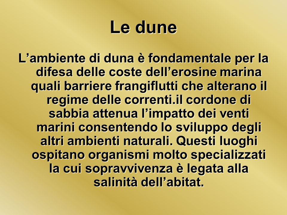 Le dune Lambiente di duna è fondamentale per la difesa delle coste dellerosine marina quali barriere frangiflutti che alterano il regime delle corrent
