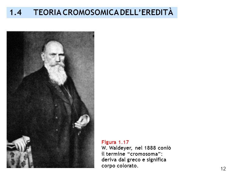 12 Figura 1.17 W. Waldeyer, nel 1888 coniò il termine cromosoma: deriva dal greco e significa corpo colorato. 1.4 TEORIA CROMOSOMICA DELLEREDITÀ