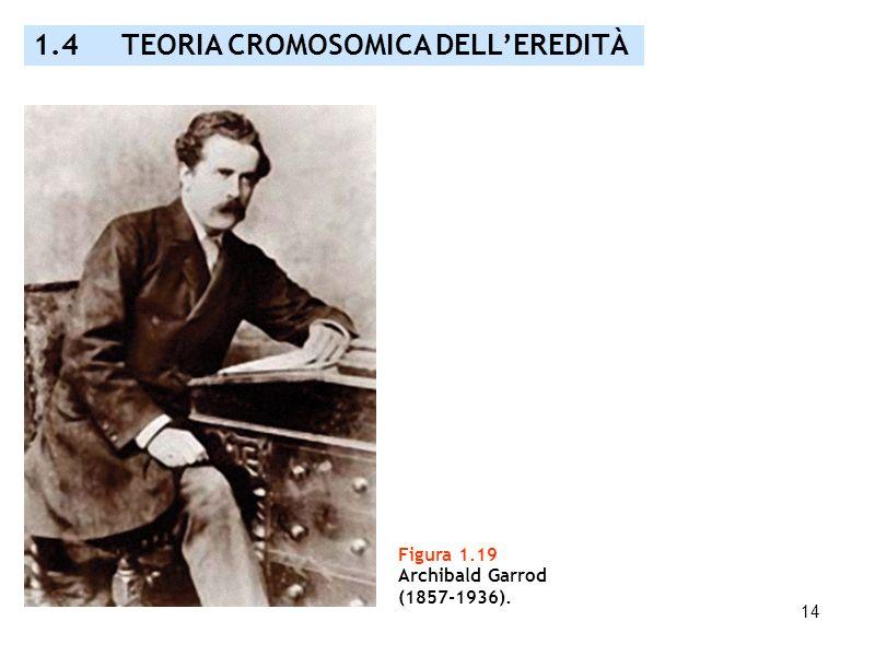 14 Figura 1.19 Archibald Garrod (1857-1936). 1.4 TEORIA CROMOSOMICA DELLEREDITÀ