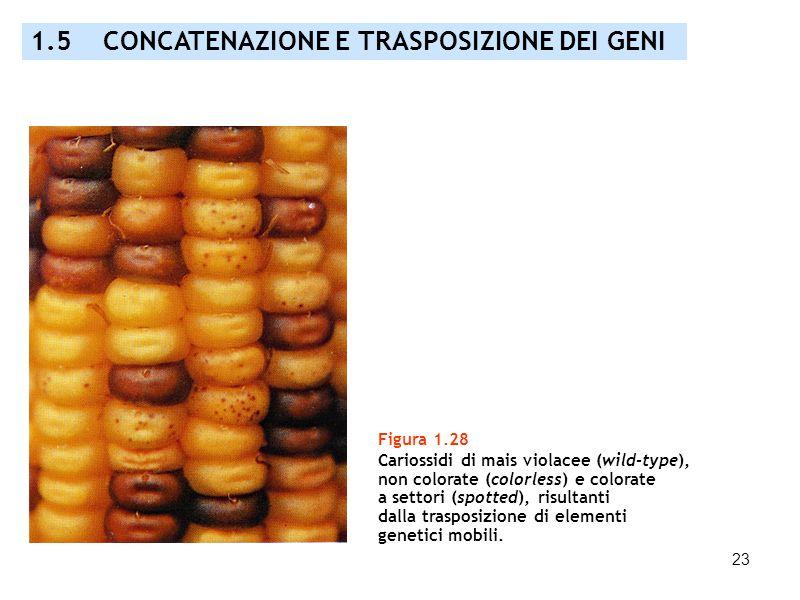 23 Figura 1.28 Cariossidi di mais violacee (wild-type), non colorate (colorless) e colorate a settori (spotted), risultanti dalla trasposizione di ele