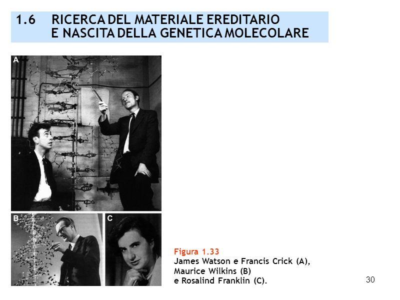 30 Figura 1.33 James Watson e Francis Crick (A), Maurice Wilkins (B) e Rosalind Franklin (C). 1.6 RICERCA DEL MATERIALE EREDITARIO E NASCITA DELLA GEN