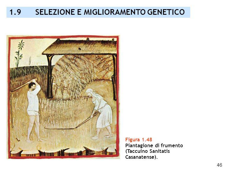 46 Figura 1.48 Piantagione di frumento (Taccuino Sanitatis Casanatense). 1.9 SELEZIONE E MIGLIORAMENTO GENETICO