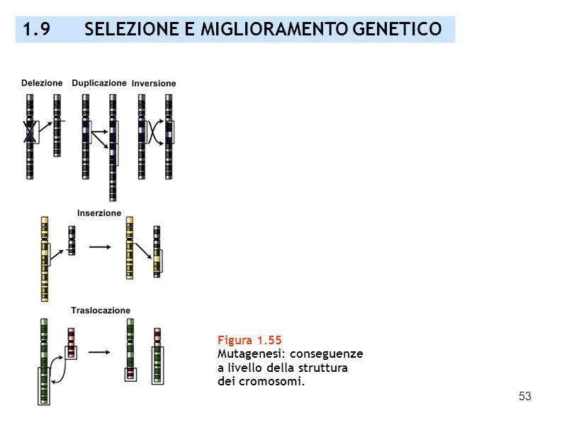 53 Figura 1.55 Mutagenesi: conseguenze a livello della struttura dei cromosomi. 1.9 SELEZIONE E MIGLIORAMENTO GENETICO
