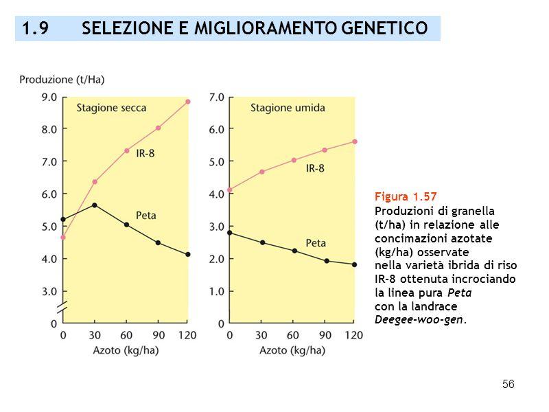 56 Figura 1.57 Produzioni di granella (t/ha) in relazione alle concimazioni azotate (kg/ha) osservate nella varietà ibrida di riso IR-8 ottenuta incro