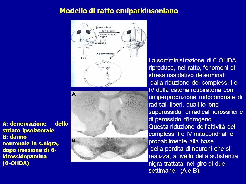 Modello di ratto emiparkinsoniano A: denervazione dello striato ipsolaterale B: danno neuronale in s.nigra, dopo iniezione di 6- idrossidopamina (6-OH