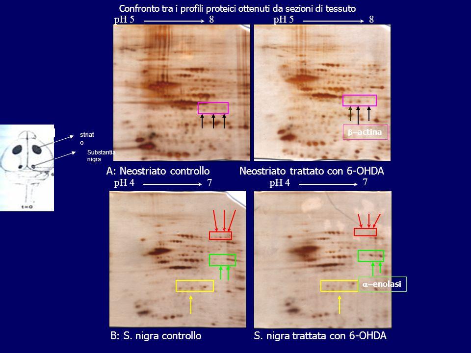 Confronto tra i profili proteici ottenuti da sezioni di tessuto 7 pH 47 A: Neostriato controllo Neostriato trattato con 6-OHDA B: S. nigra controllo S