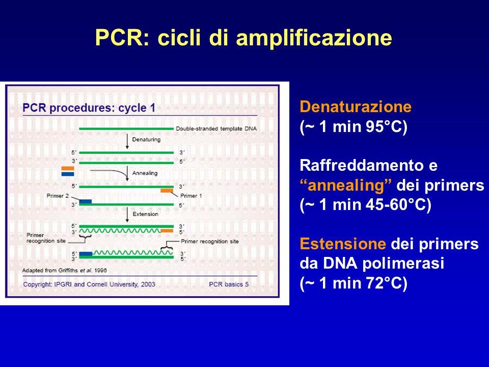PCR: cicli di amplificazione Denaturazione (~ 1 min 95°C) Raffreddamento e annealing dei primers (~ 1 min 45-60°C) Estensione dei primers da DNA polim