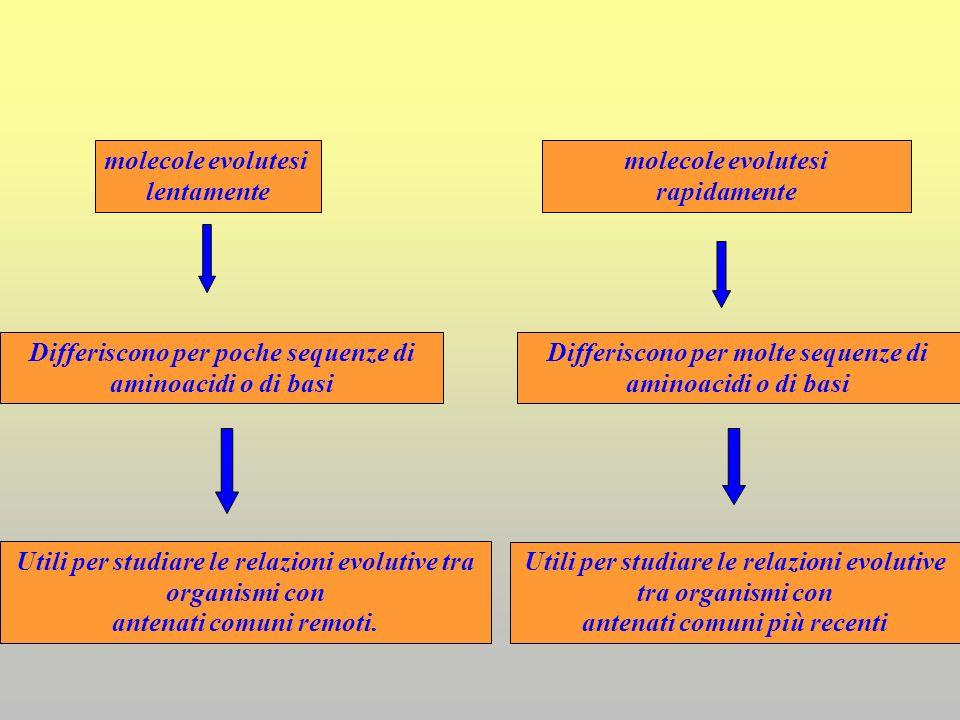 molecole evolutesi lentamente Differiscono per poche sequenze di aminoacidi o di basi Utili per studiare le relazioni evolutive tra organismi con ante