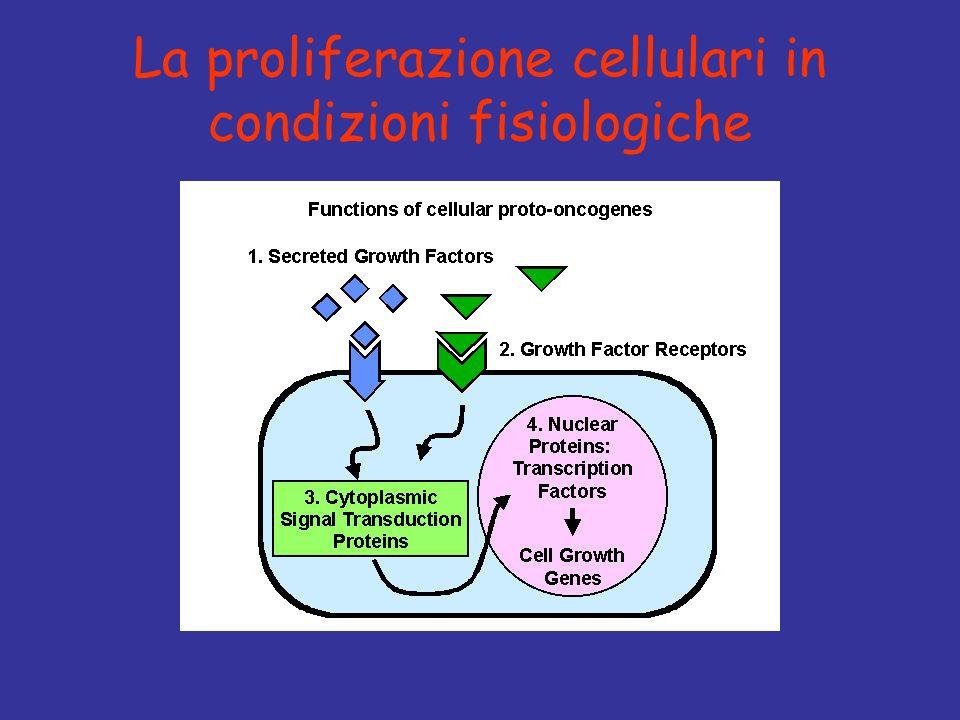 Protoncogeni Oncosoppressori Fattori di crescita(es.PDGF) Recettori dei fattori di crescita (es.