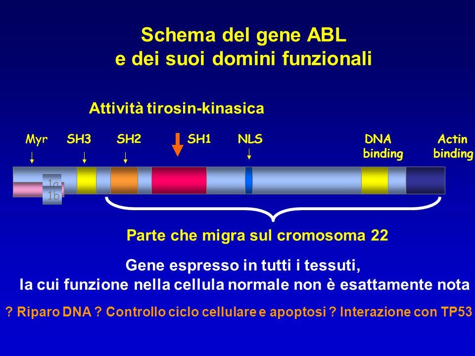 SH3 SH2 SH1 NLS DNA Actin binding binding Schema del gene ABL e dei suoi domini funzionali 1a Myr 1b Attività tirosin-kinasica Parte che migra sul cro