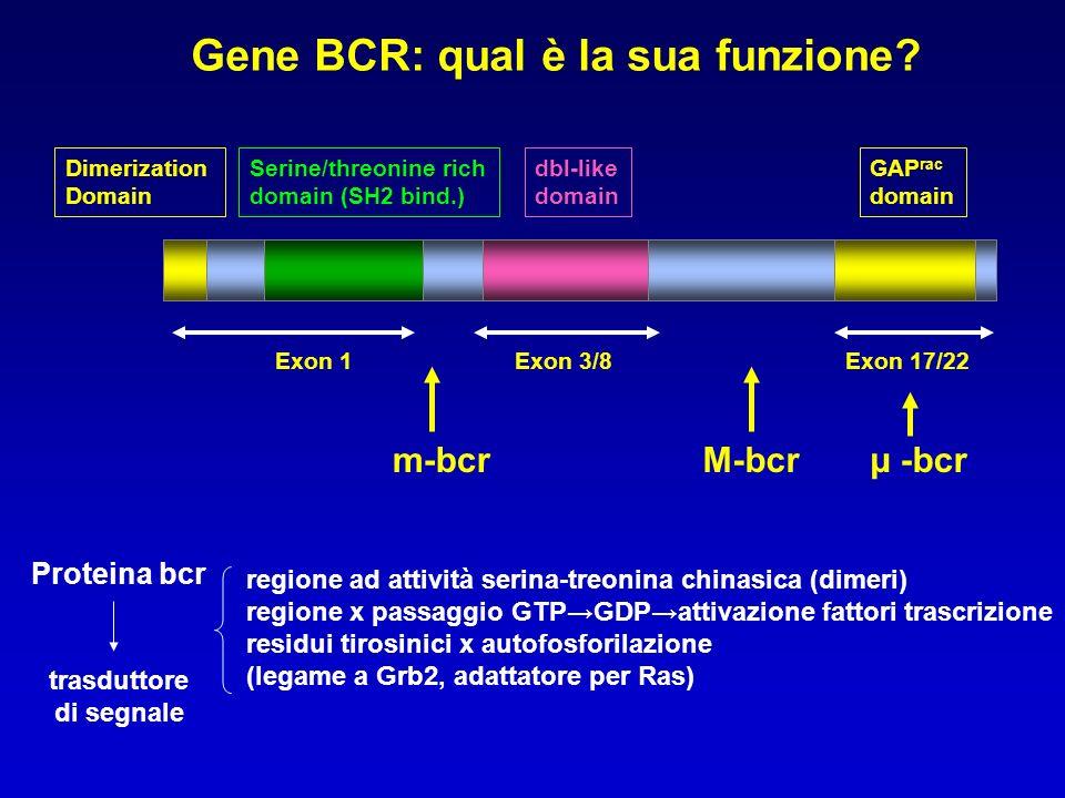 Gene BCR: qual è la sua funzione? Dimerization Domain Serine/threonine rich domain (SH2 bind.) dbl-like domain GAP rac domain m-bcrµ -bcrM-bcr Exon 1