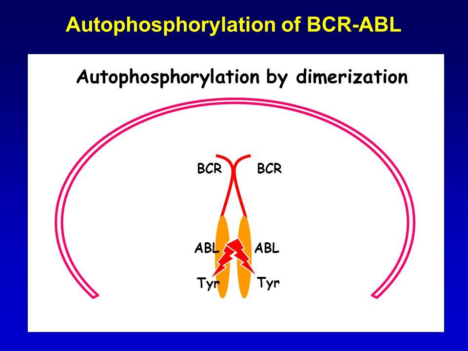 Autophosphorylation of BCR-ABL ABL Tyr BCR Autophosphorylation by dimerization ABL Tyr BCR