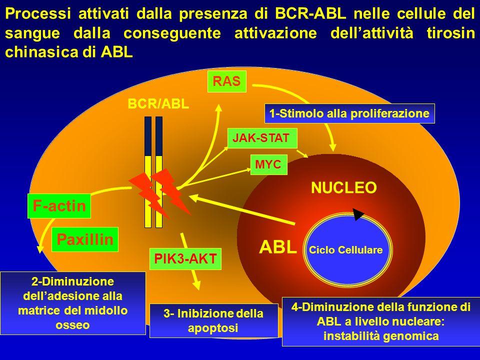 NUCLEO Ciclo Cellulare BCR/ABL RAS 1-Stimolo alla proliferazione 4-Diminuzione della funzione di ABL a livello nucleare: instabilità genomica Paxillin