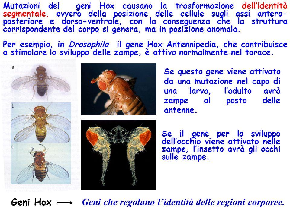 Geni Hox Mutazioni dei geni Hox causano la trasformazione dellidentità segmentale, ovvero della posizione delle cellule sugli assi antero- posteriore