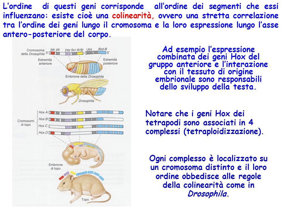 Lordine di questi geni corrisponde allordine dei segmenti che essi influenzano: esiste cioè una colinearità, ovvero una stretta correlazione tra lordi
