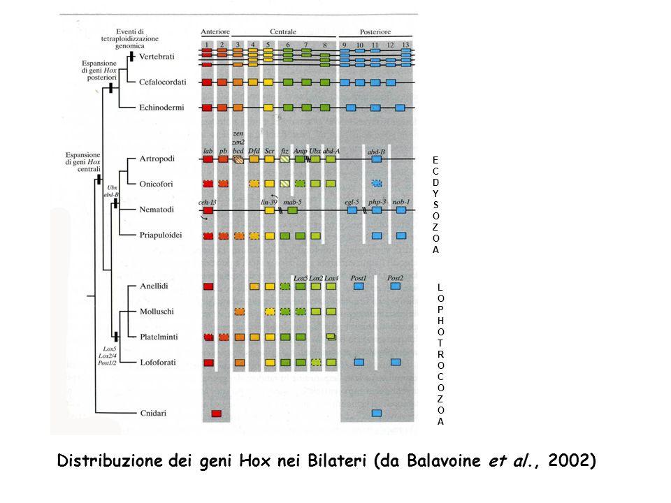 ECDYSOZOAECDYSOZOA LOPHOTROCOZOALOPHOTROCOZOA Distribuzione dei geni Hox nei Bilateri (da Balavoine et al., 2002)