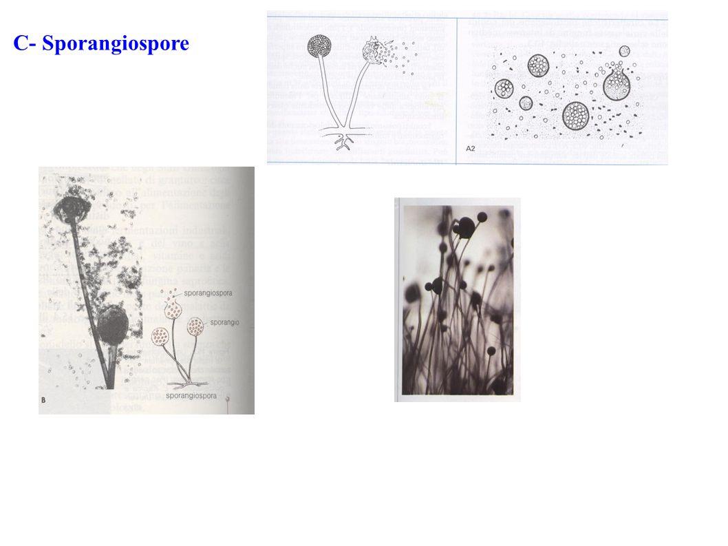 C- Sporangiospore