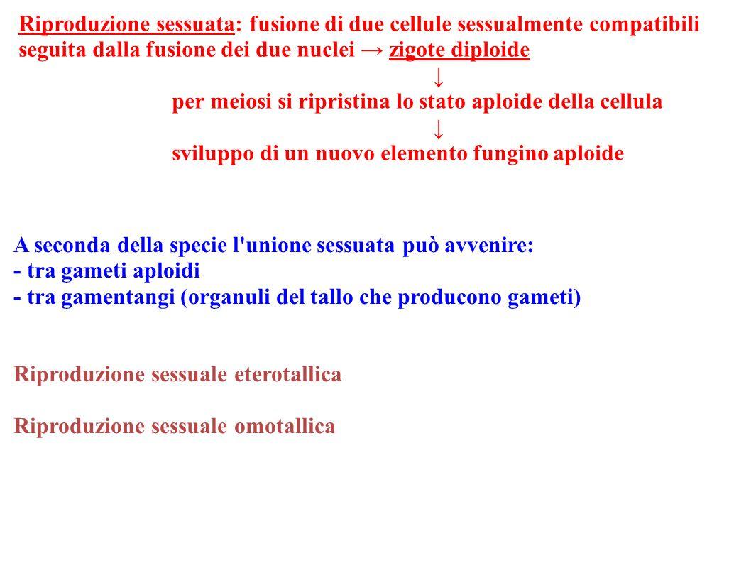 Riproduzione sessuata: fusione di due cellule sessualmente compatibili seguita dalla fusione dei due nuclei zigote diploide per meiosi si ripristina l