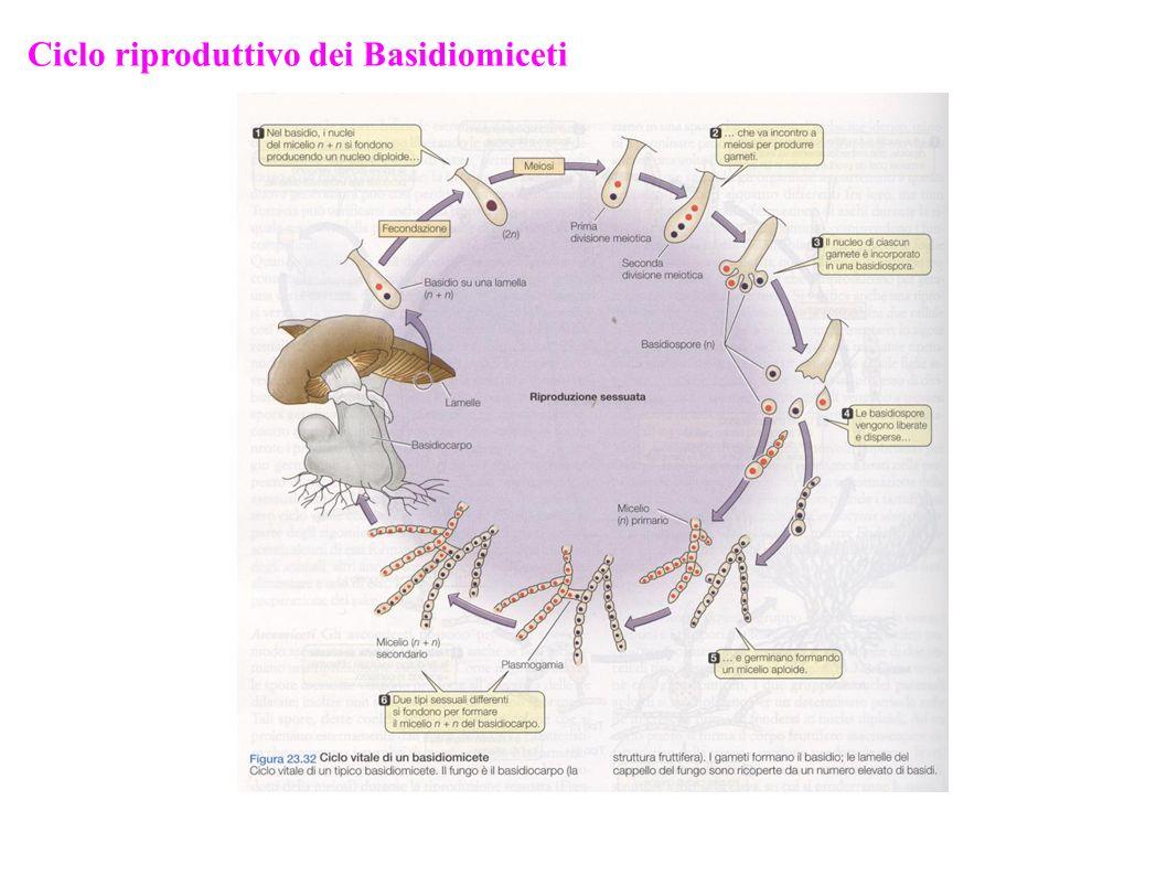 Ciclo riproduttivo dei Basidiomiceti