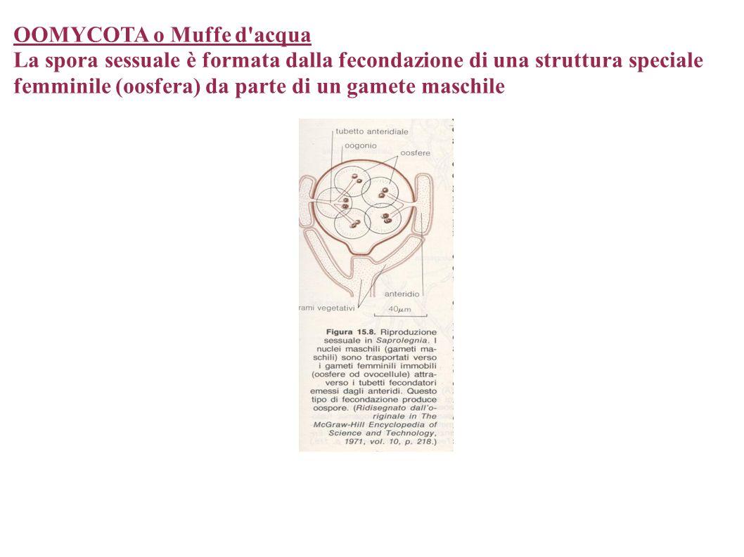 OOMYCOTA o Muffe d'acqua La spora sessuale è formata dalla fecondazione di una struttura speciale femminile (oosfera) da parte di un gamete maschile