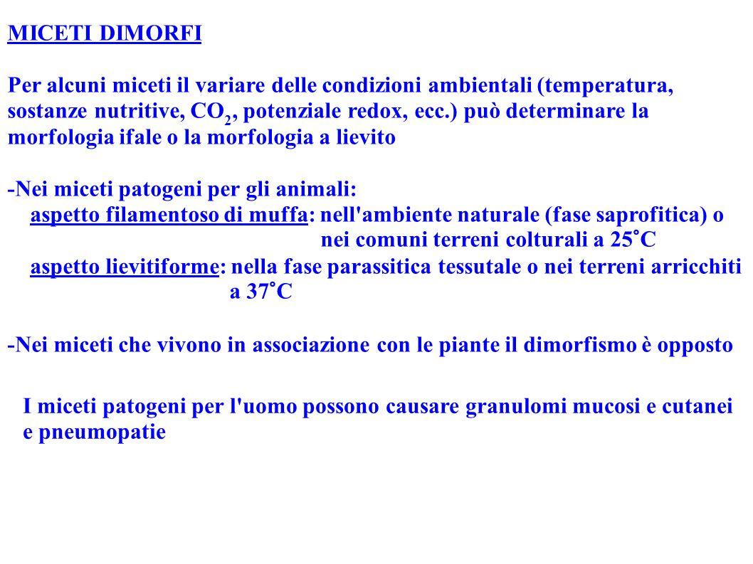 MICETI DIMORFI Per alcuni miceti il variare delle condizioni ambientali (temperatura, sostanze nutritive, CO 2, potenziale redox, ecc.) può determinar