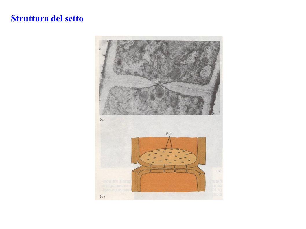 L intreccio di ife è detto MICELIO - Micelio vegetativo immerso: deputato all assorbimento delle sostanze nutritive - Micelio aereo: deputato ai processi riproduttivi