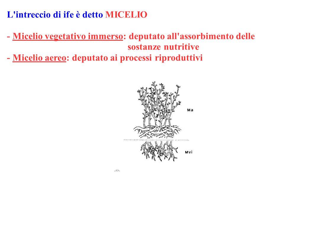 L'intreccio di ife è detto MICELIO - Micelio vegetativo immerso: deputato all'assorbimento delle sostanze nutritive - Micelio aereo: deputato ai proce