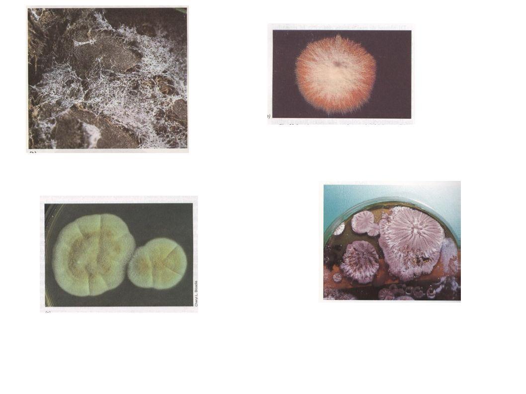 La riproduzione sessuata può avvenire in modi diversi e dare origine a forme sporali diverse: ZIGOSPORE – ASCOSPORE – BASIDIOSPORE - OOSPORE Divisioni fungine basate principalmente sulle diverse modalità di riproduzione sessuata DIVISIONE NOME COMUNE ZIGOMYCOTA ZIGOMICETI ASCOMYCOTA ASCOMICETI o funghi a sacco BASIDIOMICOTA BASIDIOMICETI o funghi a ombrello OOMYCOTA OOMICETI o muffe d acqua DEUTEROMYCOTA FUNGHI IMPERFETTI