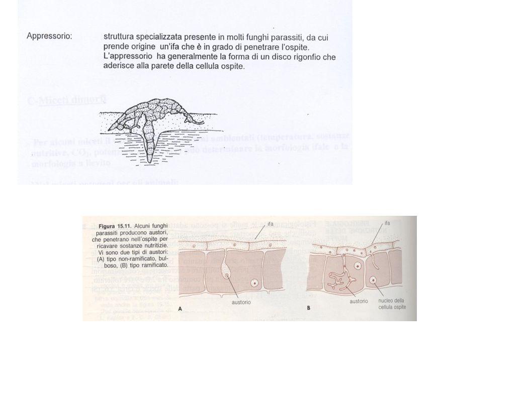 ZIGOMYCOTA Zigospora