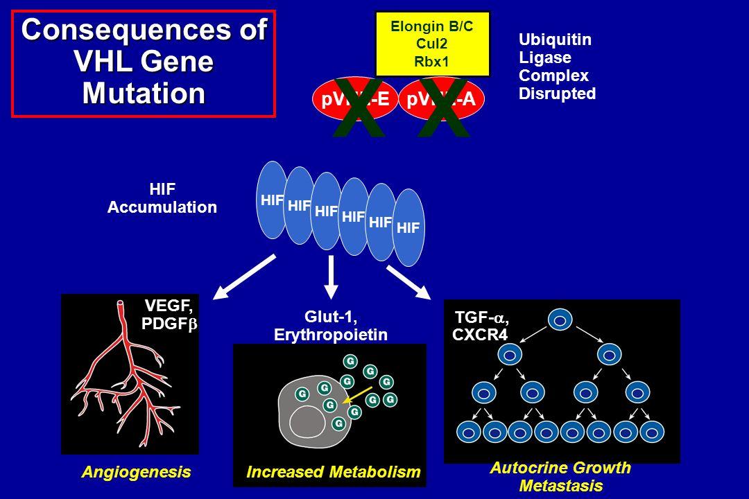 Consequences of VHL Gene Mutation Ubiquitin Ligase Complex Disrupted HIF Accumulation VEGF, PDGF Glut-1, Erythropoietin TGF-, CXCR4 AngiogenesisIncrea